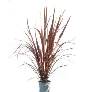 Cordyline purple sensation 20cm 200mm
