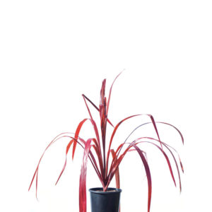 Cordyline red chocolate 17cm 170mm