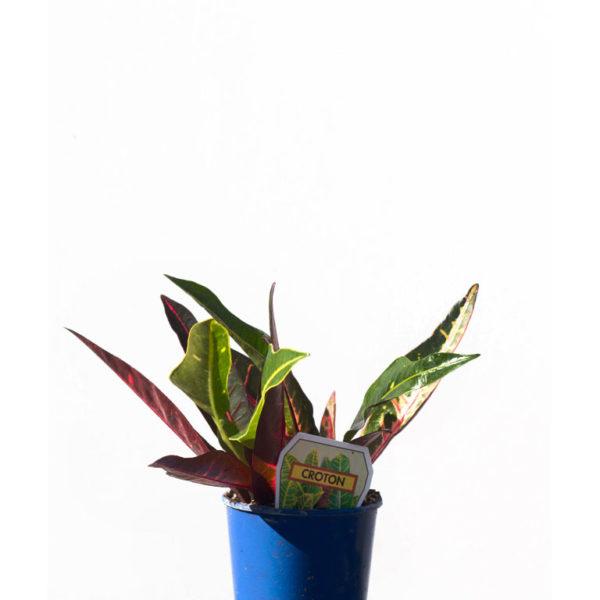 Croton 5cm 50mm