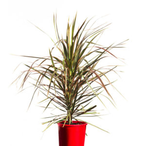 Dracaena Colorama 20cm 200mm