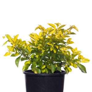 Duranta sheenas gold 20cm 200mm