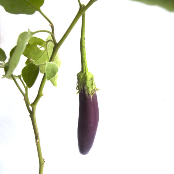 Eggplant Long Purple Closeup