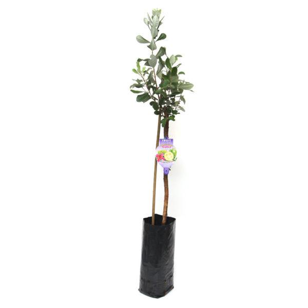 Feijoa Guava Tree 5L
