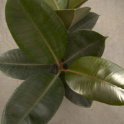 Ficus Elastica Rubber Plant 200mm Close Up