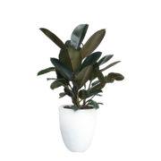 Ficus Elastica Rubber Plant White Terrazzo Pot