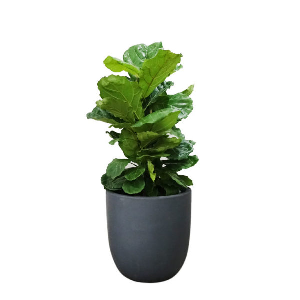 Ficus Lyrata Fiddle Leaf Egg Planter Pot 35cm
