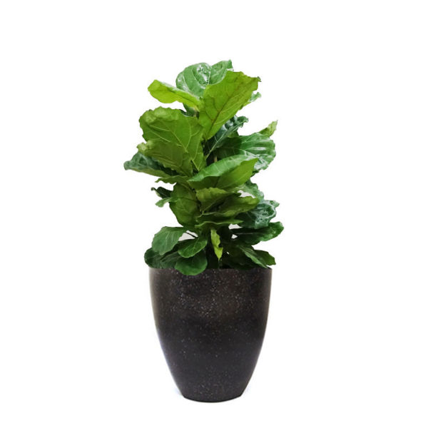 Ficus Lyrata Fiddle Leaf Terrazzo Black