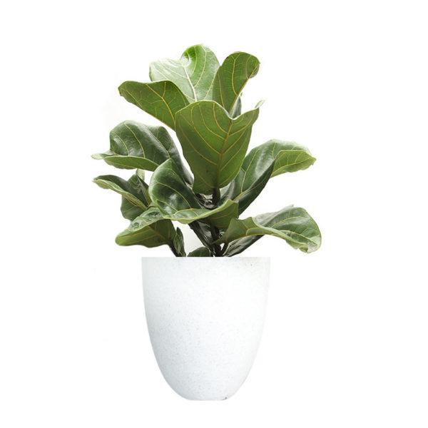 Ficus Lyrata Fiddle Leaf White Terrazzo