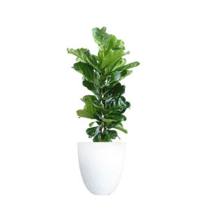Fiddle Leaf Fi Ficus Lyrata Large Terrazzo White Indoor Office Plant