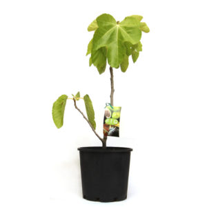 Fig Tree Black Genoa Fruit 200mm