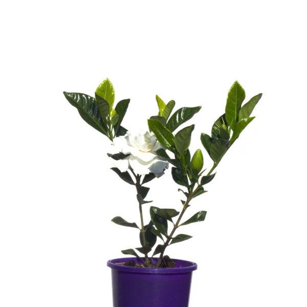 Gardenia Augusta Florida 14cm 140mm
