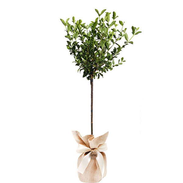 gardenia standard aimee yoshiba