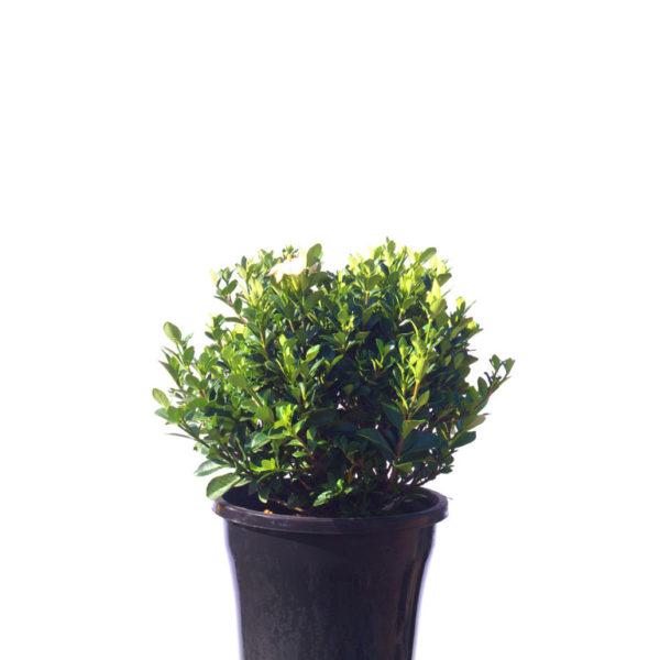 Gardenia grandiflora star 30cm 300mm