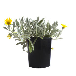 Gazania Yellow 140mm