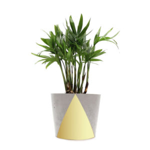 Gold Concrete Pot Parlour Palm Mini