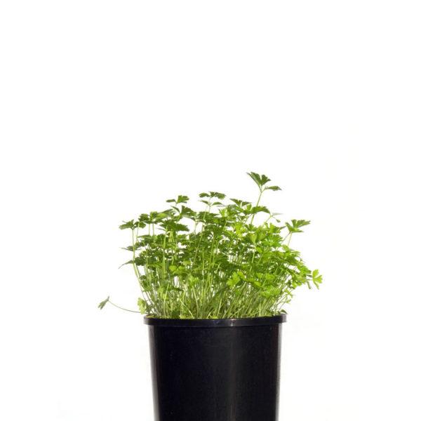 Herb Coriander 12.5cm 125mm