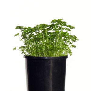 Herb Italian Parsley 12.5cm 125mm