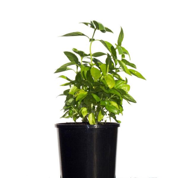Herb Sweet Basil 12.5cm 125mm