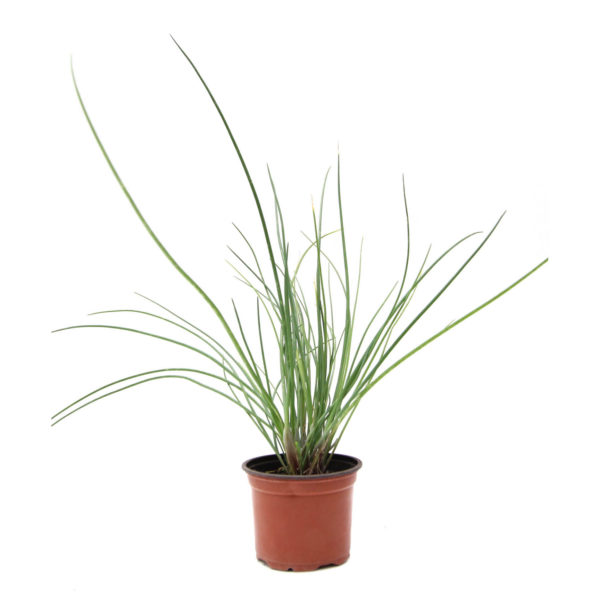 Herbs Chives 10cm 100mm