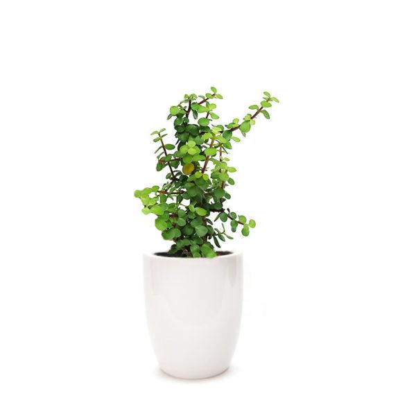 Jade Plant Money Tree Ceramic White
