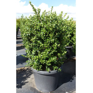 Japanese Buxus 400mm 40cm
