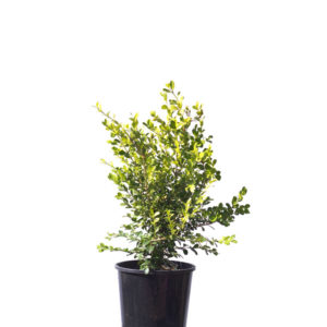Japanese buxus japonica box hedge 20cm 200mm