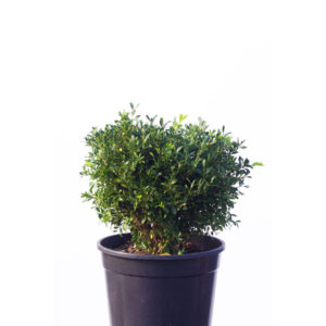 Korean buxus 25cm 250mm