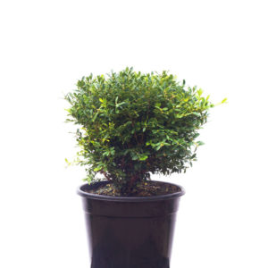 Korean buxus 30cm 300mm