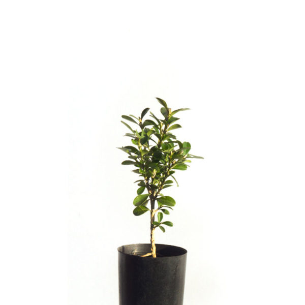 Korean buxus 5cm 50mm