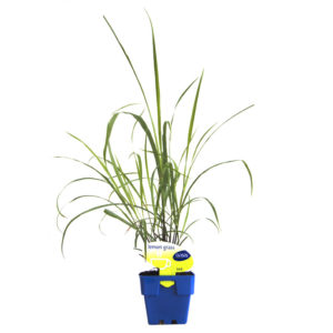Lemon Grass 125mm