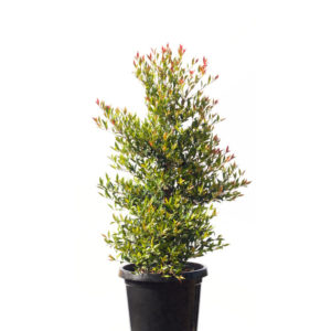 Lilly pilly red tip 30cm 300mm