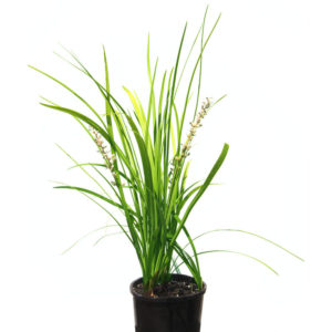 Liriope Evergreen Giant 12cm 120mm