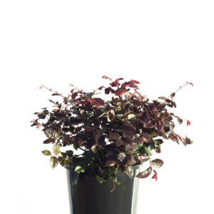 Loropetalum China Pink 20cm / 200mm / 8""