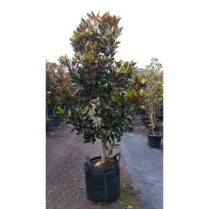 Magnolia Little Gem 75L Large