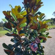 Magnolia Teddy Bear 400mm