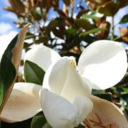 Magnolia Little Gem Flower-