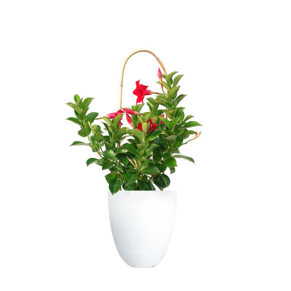 Mandevilla Red Terrazzo White