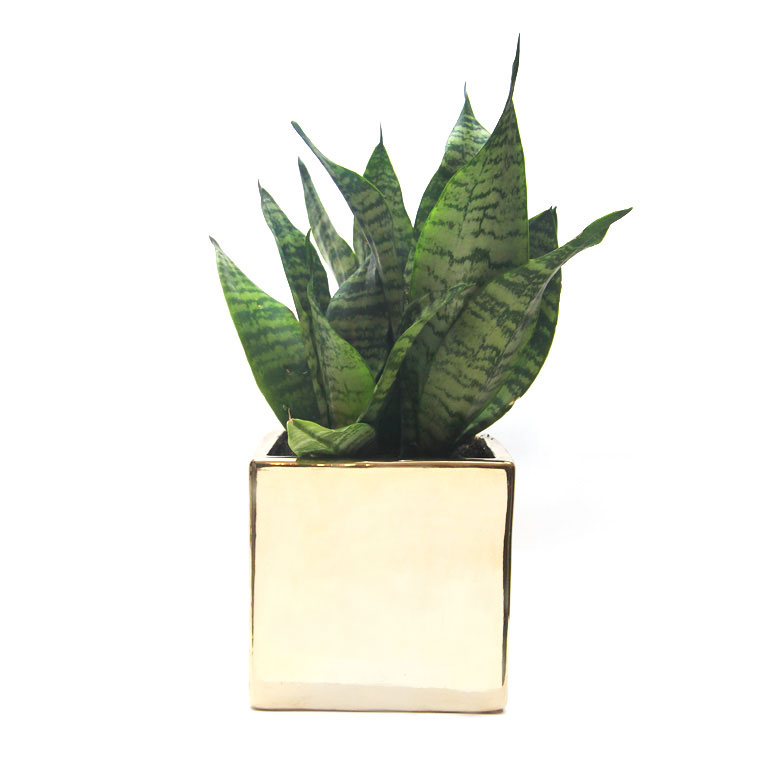 Mother In Law Tongue Gold Square Pot