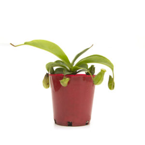 Nepenthes Pitcher Plant 75mm