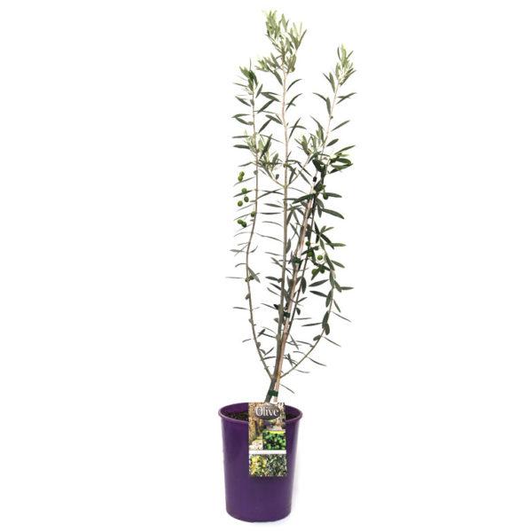 Olive Tree 200mm