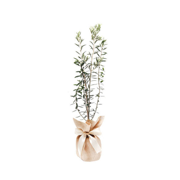 Olive Tree Wrapped Hessian Buy Gift