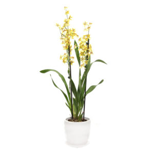 oncidium orchid yellow