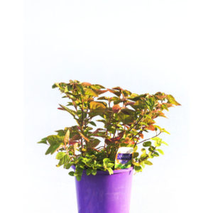 Oregano Herb 12cm 120mm