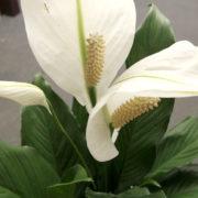 Peace Lily Closeup