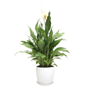 peace lily white pattern