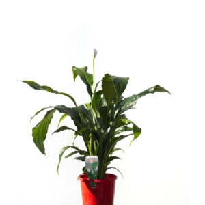 Peace lily 14cm 140mm