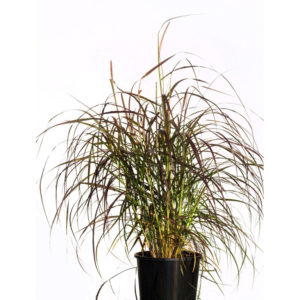 Pennisetum fountain grass 20cm 200mm