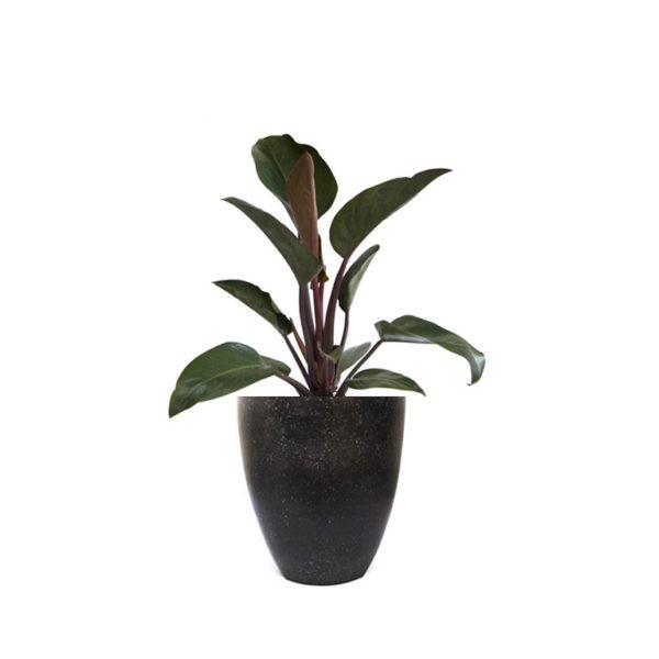 Philodendron Rojo Congo Terrazzo Black
