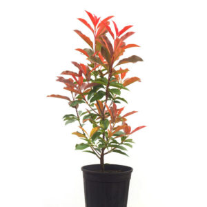 Photinia red robin 14cm 140mm