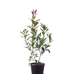 Photinia red robin 20cm 200mm